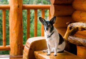 A small dog sitting on the porch of a pet friendly cabin rental.